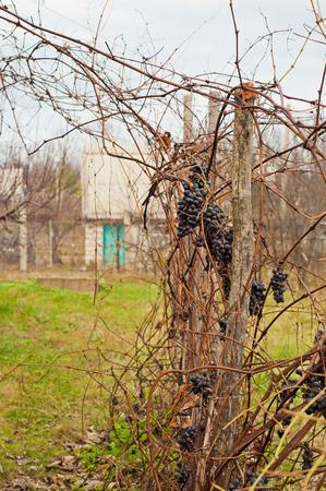 cabernet: Las maduras uvas Cabernet en un vino yardas