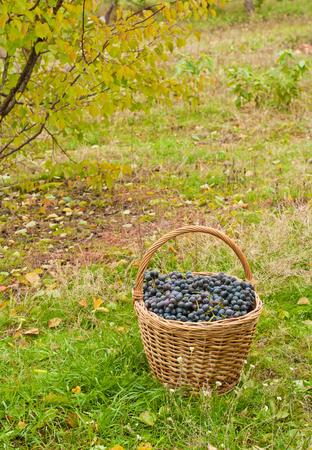 cabernet: Cabernet Grapes in basket in autumn garden Stock Photo