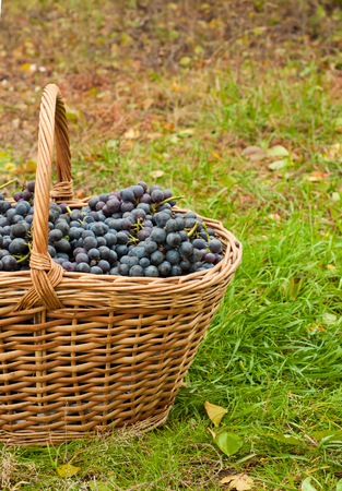 merlot: Merlot Grapes in basket on autumn grass