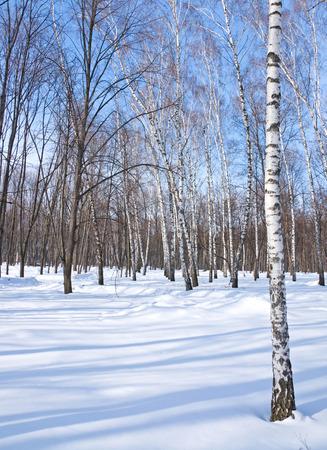 Birch forest on blue sky background, winter landscape photo