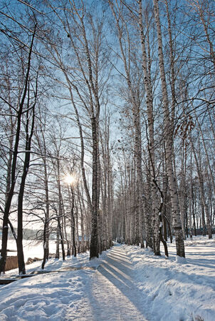 Birch forest on blue sky background, winter landscape photo