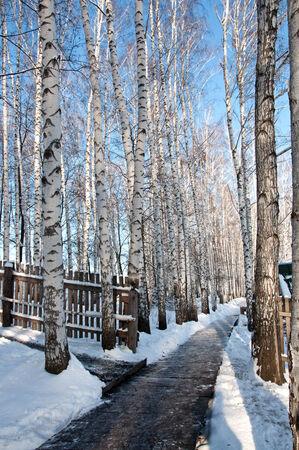 Birch forest on blue sky background photo
