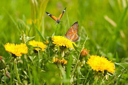 dandelion: Spring meadow of yellow dandelions and butterflies