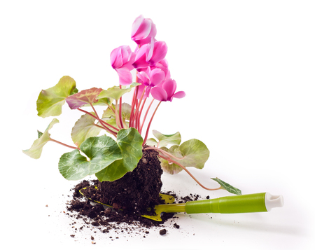 Gardening, planting the pink cyclamen flowers on white photo