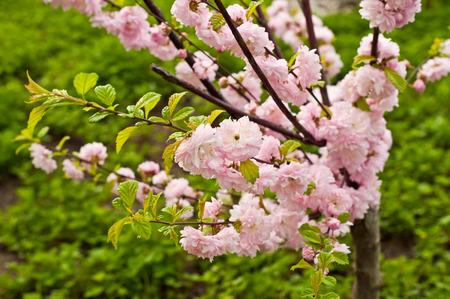 almond bud: Almond tree pink flowers bloom in spring