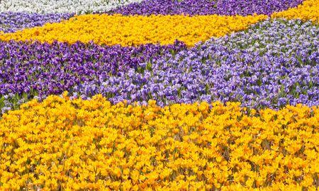 crocuses: Many Beautiful colorful crocuses in flower shop in spring
