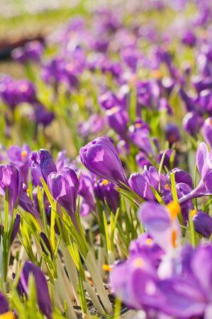 crocuses: Beautiful purple crocuses. Shallow depth of field (shallow DOF)