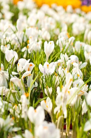 shop tender: Beautiful white crocuses in flowers shop in spring Stock Photo