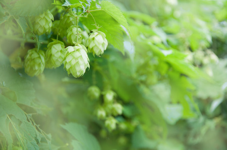 hop cones: Hop cones and leaves on blurred background