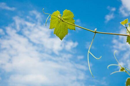 sky brunch: Green grape leaves on the blue sky background Stock Photo