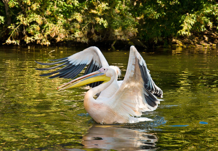 onocrotalus: Pelican (Pelecanus onocrotalus) swim and eat of the fish Stock Photo