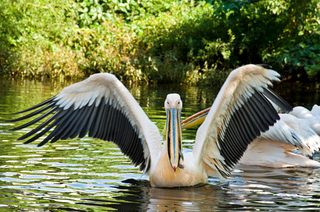 onocrotalus: Big Pelican (Pelecanus onocrotalus) swims and eats fish Stock Photo