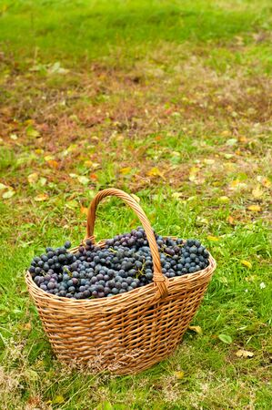 cabernet: Cabernet Grapes in basket on autumn grass