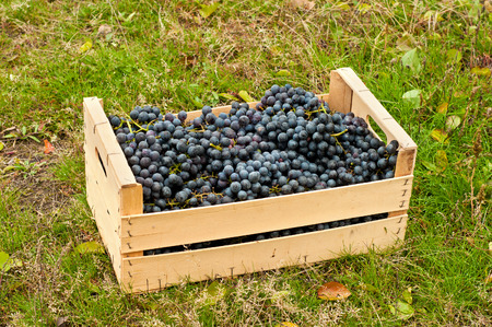 cabernet: Cabernet Grapes in wooden box in autumn garden