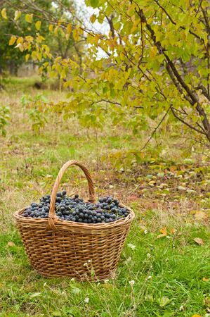 merlot: Merlot Grapes in basket on autumn grass in garden Stock Photo