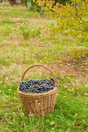 cabernet: Cabernet Grapes in basket on autumn grass in garden