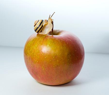 apple snail: beautiful small snail on apple, eco concept Stock Photo