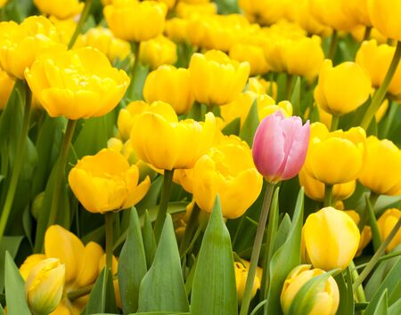 different: One pink tulip among many yellow ones. Standing out from crowd, individuality, leadership, uniqueness, think different and difference concept.