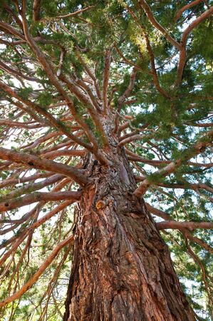sequoia: A tall sequoia in the Massanra Park in Crimea Stock Photo