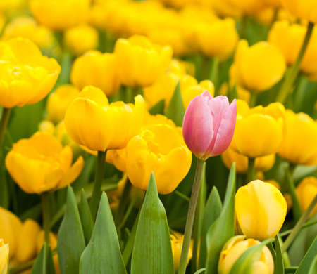 standing out from the crowd: One pink tulip among many yellow ones. Standing out from crowd, individuality, leadership, uniqueness, think different and difference concept.