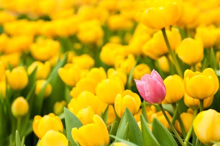 Eine rosa Tulpe unter vielen gelben. Standing heraus von der Masse, Individualität, die Führung, Einzigartigkeit, umdenken und Differenz-Konzept.