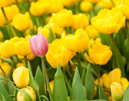 standing out from the crowd: One pink tulip among many yellow ones. Standing out from crowd, leadership, uniqueness, think different and individuality concept.