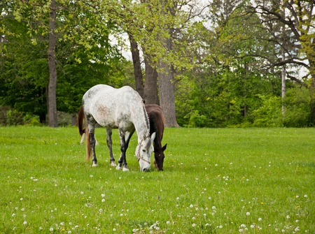 yegua: Yegua y su potro de comer la hierba verde