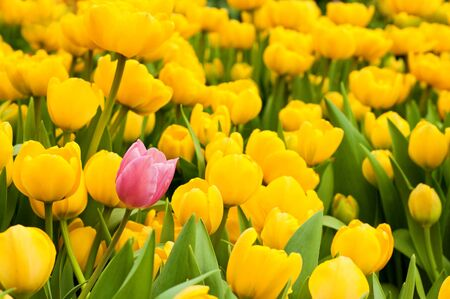 One pink tulip among many yellow ones. Standing out from crowd, individuality, uniqueness, leadership, think different and difference concept.