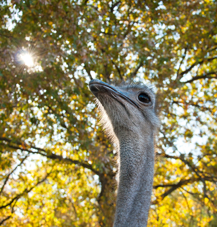 struthio camelus: The African Ostrich (Struthio camelus) on nature, close-up portrait