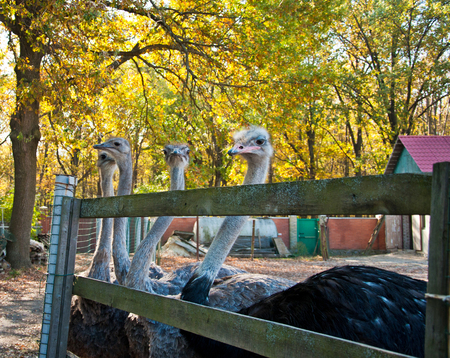 struthio camelus: The family of African Ostriches (Struthio camelus) at the ostrich farm