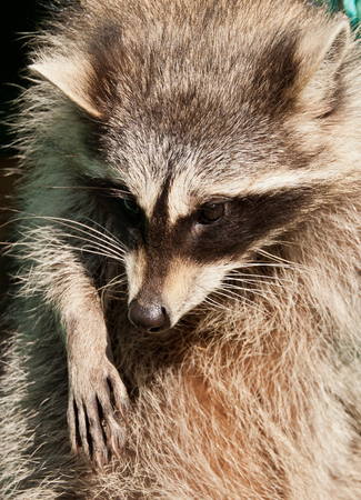 The Portrait of raccoon (Procyon lotor), close-up