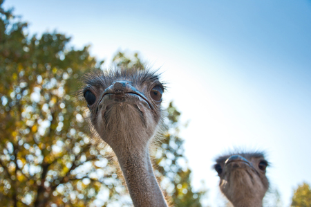 Two African Ostriches (Struthio camelus) on blue sky background Stock Photo