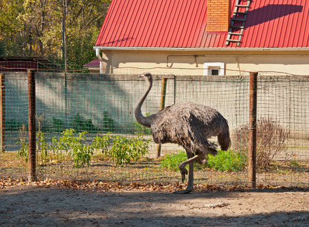 struthio camelus: The female of African Ostrich (Struthio camelus) at the ostrich farm