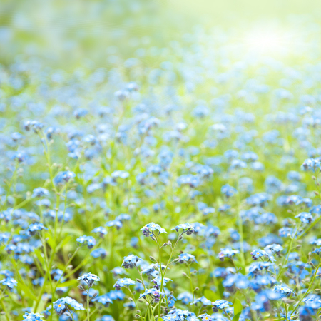 Beautiful blue flowers, sunny spring or summer background