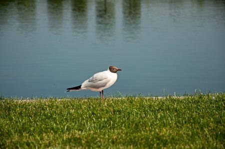 the beautiful black-headed gull sitting on green grass near water Stock Photo