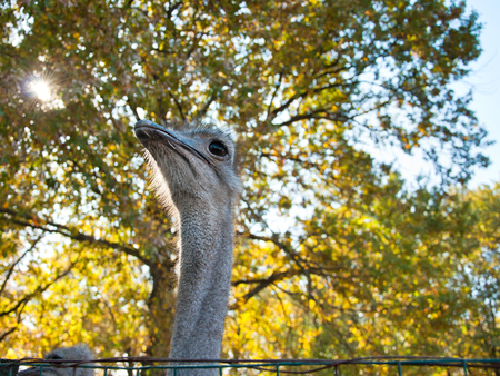 struthio camelus: The African Ostrich (Struthio camelus) on nature