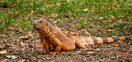 A big beautiful iguana sitting on the grass