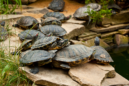 Red-Eared Slider Turtles (Trachemys scripta) sitting on stones near pond