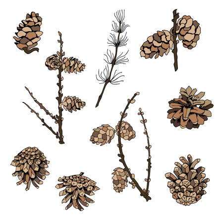 larch tree: Vector set of colored twigs and cones on a white background. Illustration