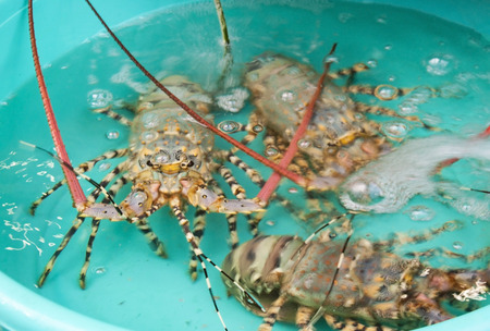 Langoustes sitting in a turquoise basin with water. Stock Photo