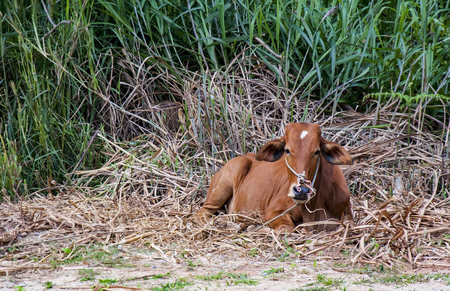 red heifer: Red cow on the pasture Stock Photo
