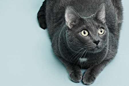 The gray cat is lying. Blue background, close up