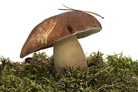 cep mushroom: cep. Boletus mushroom and green moss