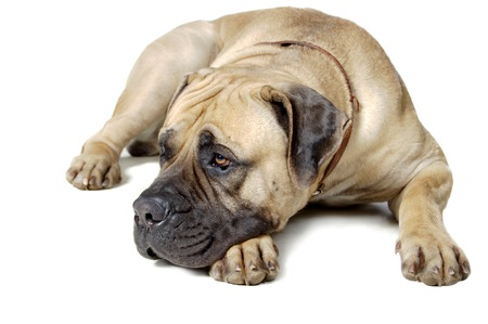 large dog: Dog Is A Large Breed. Photography Studio On A White .