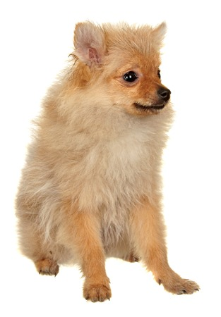 yorky: Dog Small Breed. Photography Studio On A White .
