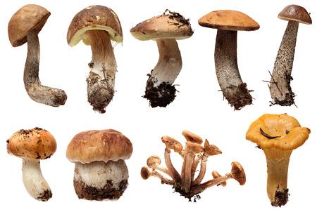 mycelium: Wild Foraged Mushroom selection isolated on a white , with shadow. Boletus Edulis mushrooms over white