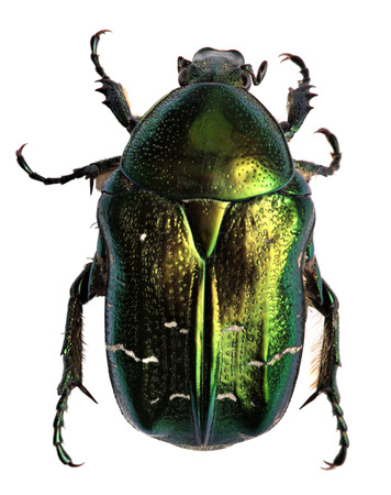Green beetle. Rose chafer , cetonia aurata isolated on a white  Imagens