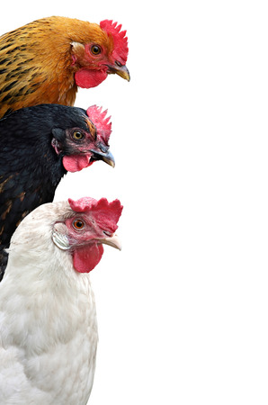 Three chickens Isolated On a white Background. Place Your Text.