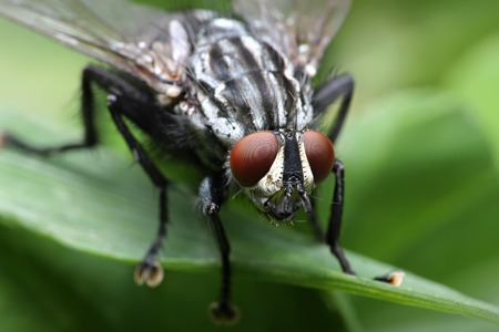 compound eyes: Eyes of an insect. Portrait of a Gadfly.Hybomitra horse fly head closeup