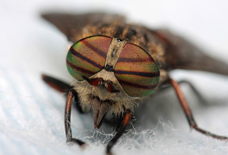 Eyes of an insect. Portrait of a Gadfly.Hybomitra horse fly head closeup